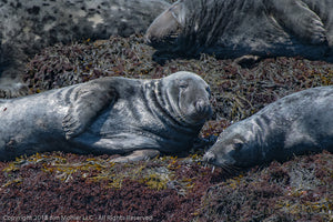 1017 - Gray Seals in the Sun