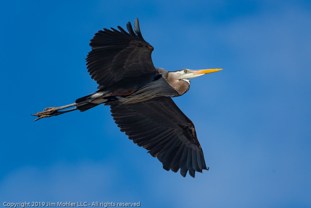 1021 - Great Blue Heron