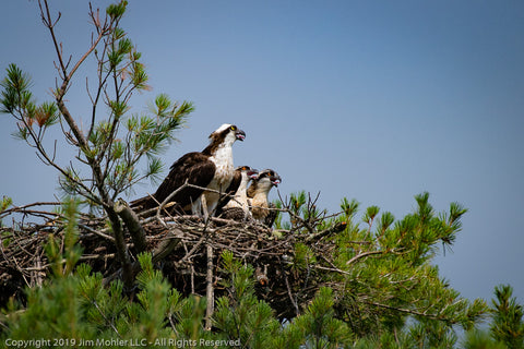 1025 - Osprey and Fledglings