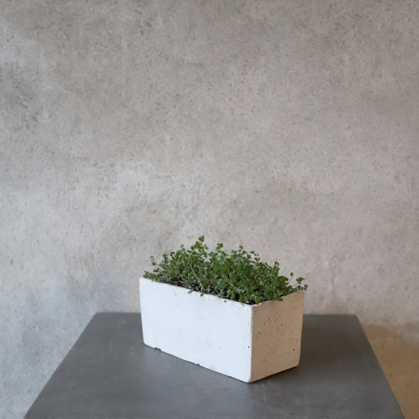 Plant in Concrete Trough Inspired Container