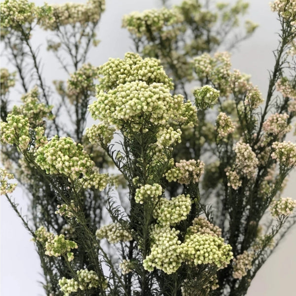 Rice Flower - Natural