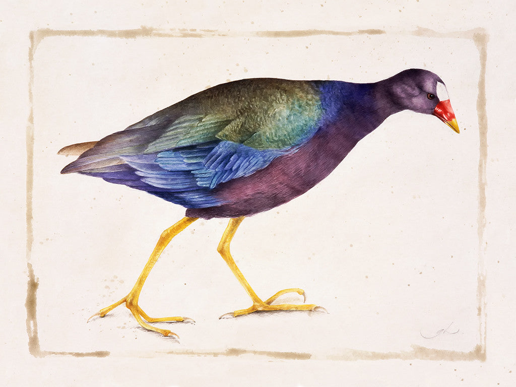 The Gallinule // Gertrude Hamilton