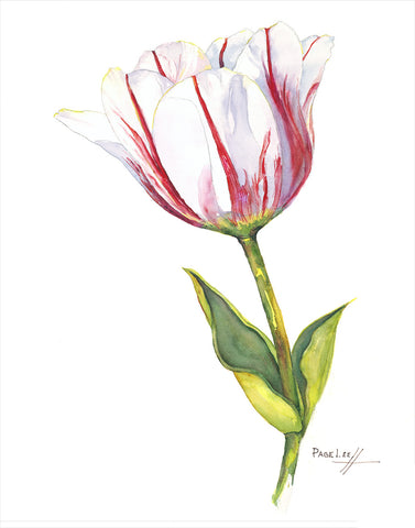 Sorbet Tulip // Page Lee Hufty