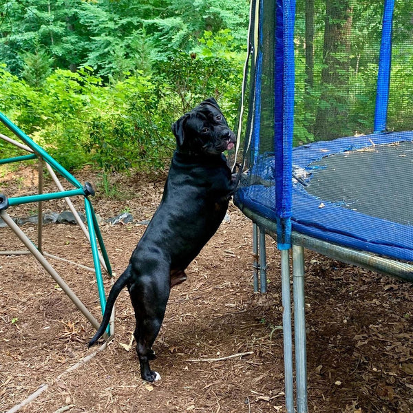 The dog asking for permit to play on the Zupapa trampoline