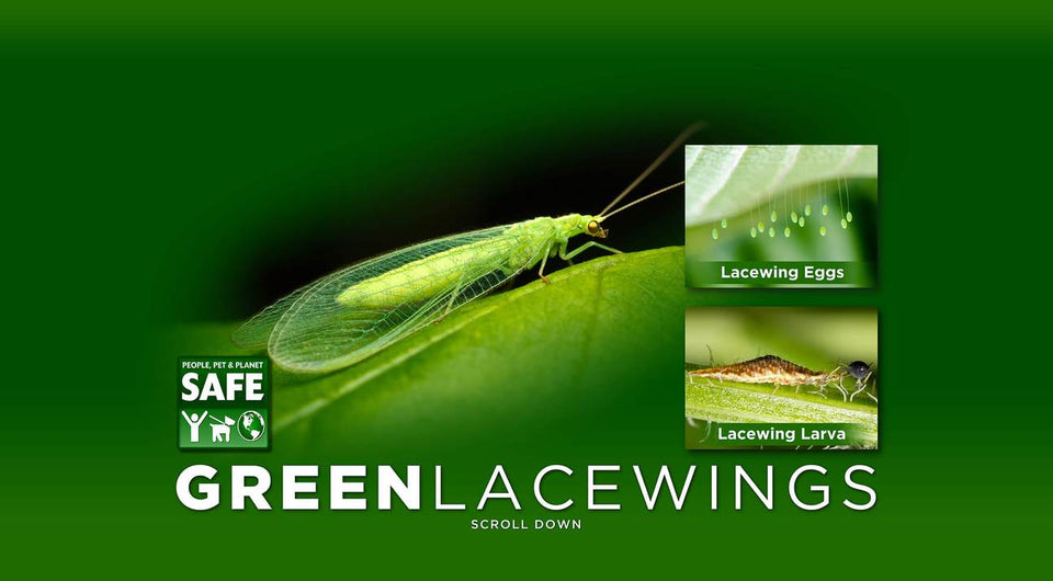 Green lacewings | live Ladybugs