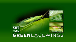 Green Lacewings | Aphid Control | 100 Count
