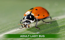 Load image into Gallery viewer, live ladybugs