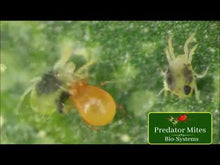 Load and play video in Gallery viewer, Phytoseiulus Persimilis | Spider Mite Predator | 2,000 Count