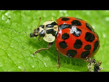 Load and play video in Gallery viewer, Ladybugs for sale