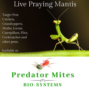 Praying Mantis | 2 Egg Case