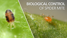 Load image into Gallery viewer, Phytoseiulus Persimilis | Spider Mite Predator | 2,000 Count