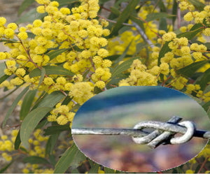 Wattle Day and Fencing Wire