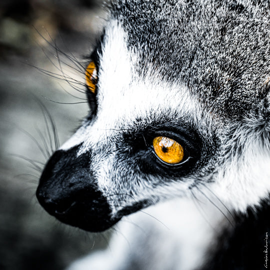 A Lemur of Madagascar in black and white with yellow eyes