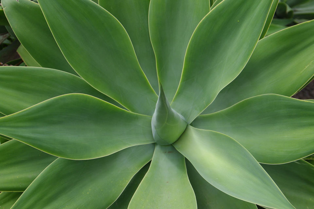 ALOE VERA - Le Guide Complet : Bienfaits, Dangers | Utone©
