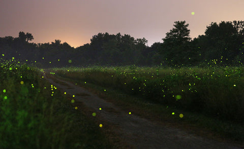Summer time fireflies lighting up a green field at sunset