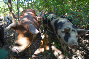 Of Hogs and Hugels: Creating a Perennial Food Forest