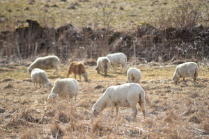 Stockpiling Grass for Early Spring Grazing