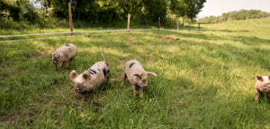 Room to Romp, Room to Roam with Studio Hill's Pasture-Raised Pigs