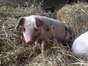 How We Raised Pastured Pork in 2014