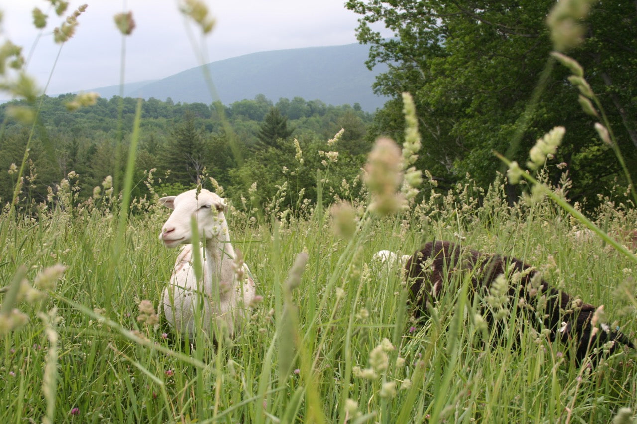 50 Sheep Added to Our Hayfield Restoration Program