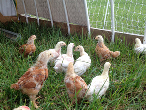 Hayfield Restoration with Chickens: Idea & Testing