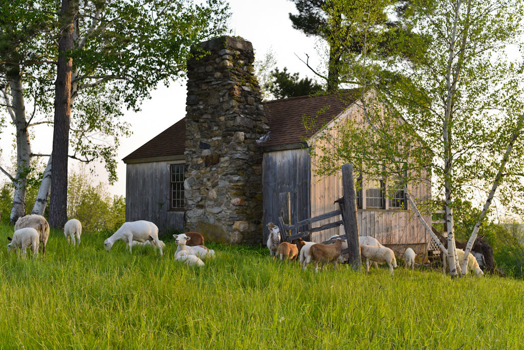 The sheep at Studio Hill