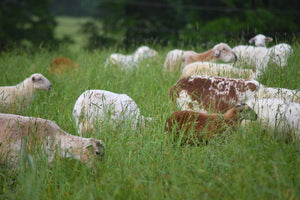 100% Grass-Fed, Pasture-Raised Lamb (Whole-Animal Deposit)