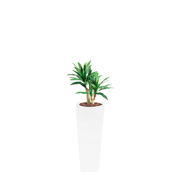 Armani B with Dracaena 80cm - PLANTS IN POTS