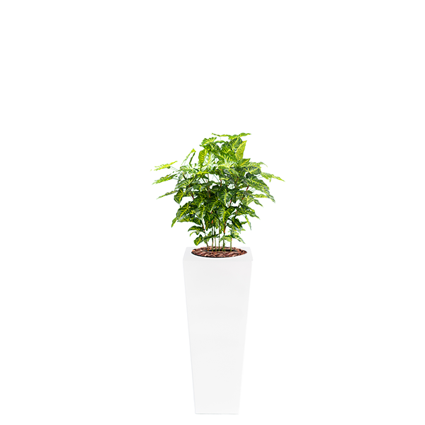 Armani B with Mini Philo 90cm - PLANTS IN POTS