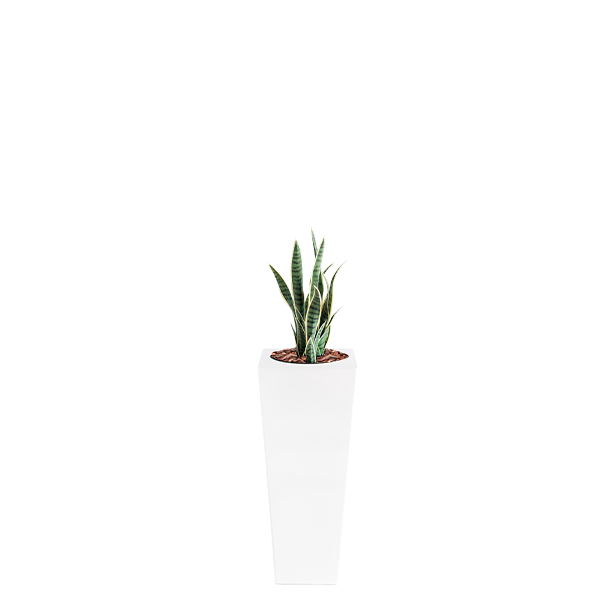 Armani B with Sanceiveria Y/Green 68cm - PLANTS IN POTS