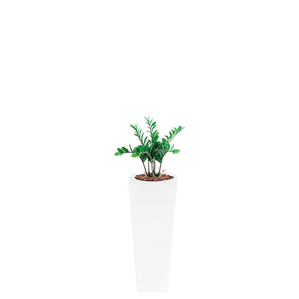 Armani B with Zamifolia 64cm - PLANTS IN POTS