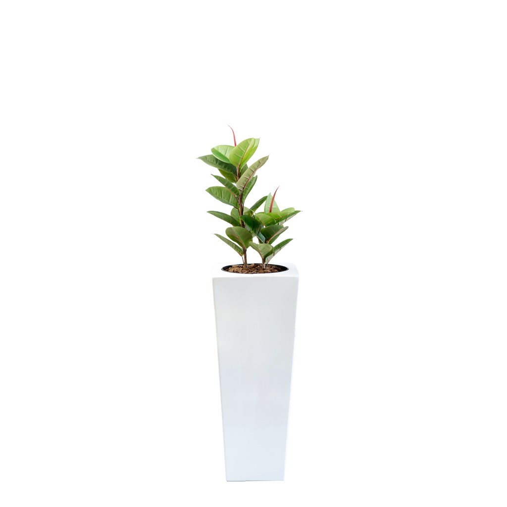 Armani B with Rubber Tree 82cm - PLANTS IN POTS