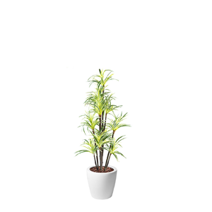 Dior B with Dracaena Fragrance 160cm - PLANTS IN POTS