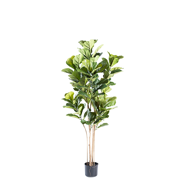 Fiddle Leaf Ficus 155cm  in weighted black pot