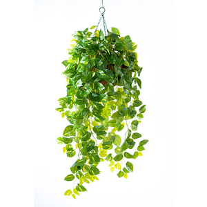 Hanging Basket M with Epipremnum - PLANTS IN POTS