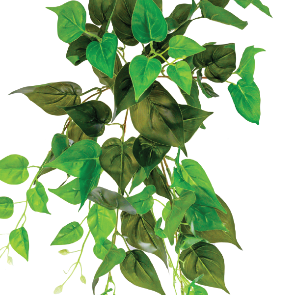 Hanging Philodendron Scandens 55cm