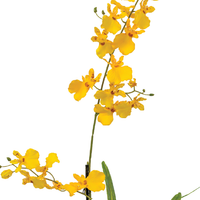 Dancing Orchid 70cm Yellow