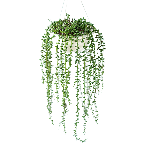 Valli Hanging Pot with Seedvine - PLANTS IN POTS