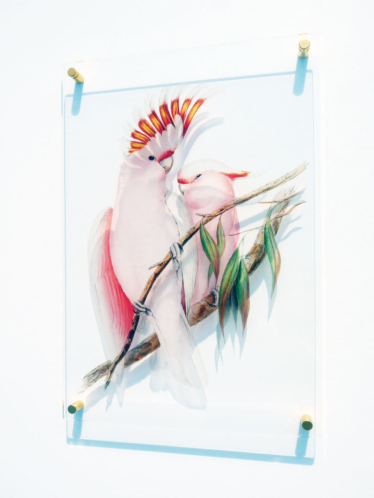 Pink Cockatoo Fine Art Print on Perspex with 24 Carat Gold Mounts