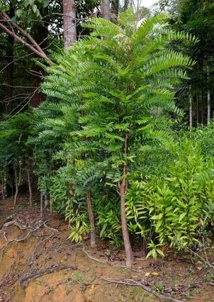 Tongkat Ali 50:1/400 mg's