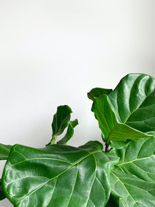 fiddle leaf fig fertilizer