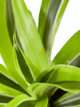 Load image into Gallery viewer, lemon surprise dracaena
