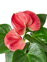 Load image into Gallery viewer, pink anthurium