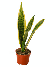 Load image into Gallery viewer, snake plant