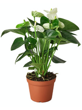 Load image into Gallery viewer, white anthurium