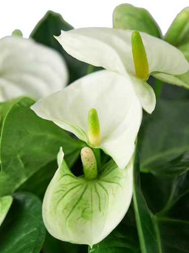 a white anthurium plant
