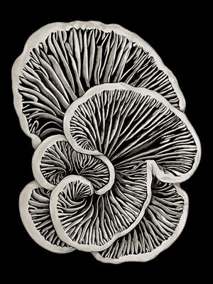 Schizophyllum Commune - Flip Solomon - Canvas Print