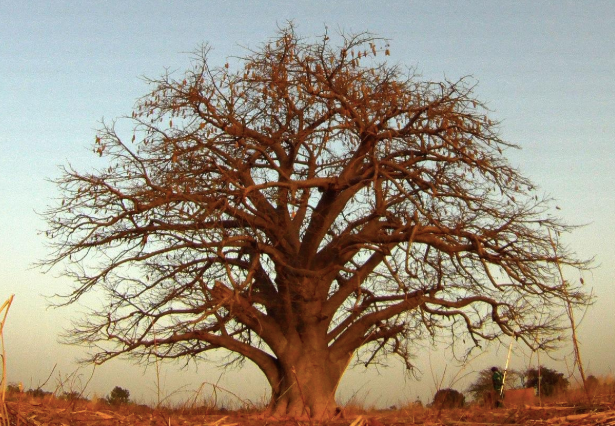 The Baobab: A Symbol of Nature's Resiliency