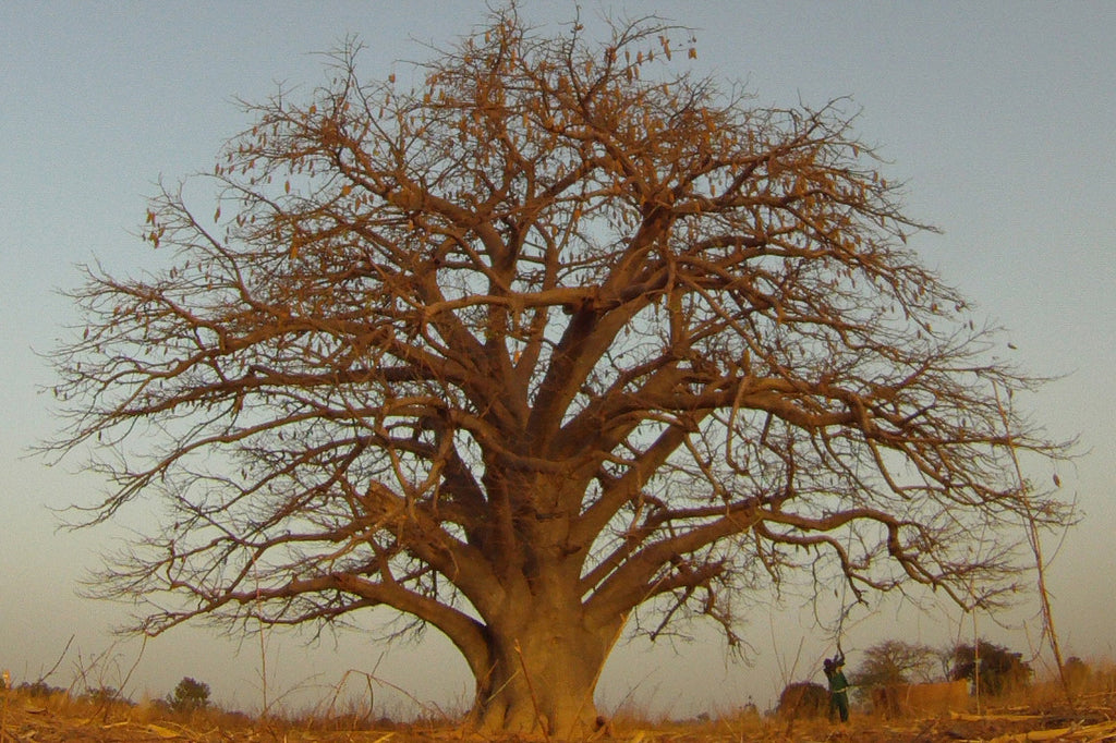 This Ancient Tree Activates Ancient Genes
