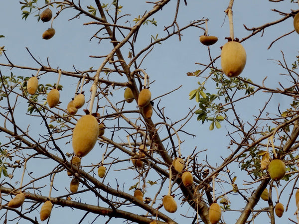 Close up for baobab fruit pods in a tree